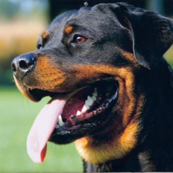 Rottweiler5